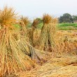 Harvest rice — Stock Photo