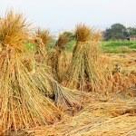 Harvest rice — Stock Photo