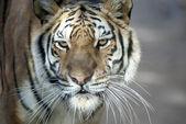 西伯利亚虎的关门 — 图库照片