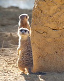 Meerkat on guard duty — Stock Photo