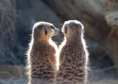 Two Meerkat on guard duty — Stock Photo
