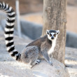 ring tailed lemur&quot — Stock Photo #7226899