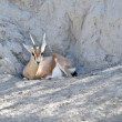 Stock Photo: Dorcas Gazelle