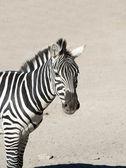 Close up of a Zebra — Stock Photo