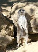 Meerkat on guard duty — Stock Photo