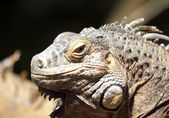 Iguana verde — Foto Stock