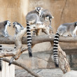 A group of Ring Tailed Lemurs — Stock Photo #7298591