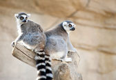 Two Ring Tailed Lemurs — Stock Photo