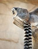 Halka kuyruklu Lemurlar — Stok fotoğraf