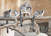 A group of Ring Tailed Lemurs — Stock Photo