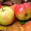Apples in autumn leaves - Stock Photo
