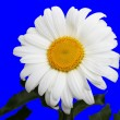 Daisy on blue — Stock Photo