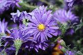Ice on the purple chrysanthemums — Stock Photo