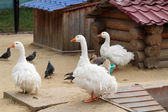 White geese called Bride — Stock Photo