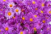 Purple aster — Stock Photo