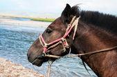 Porträt eines mongolischen Pferdes im Kabelbaum — Stockfoto