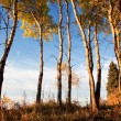 Aspen Trees in Fall — Stock Photo