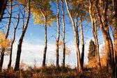 Osika drzewa jesienią — Zdjęcie stockowe