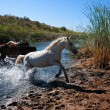 Wild horses - Stock Photo