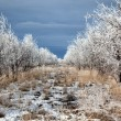 Stock Photo: Rows of trees in winter