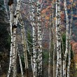 Birch Grove in mountains — Stock Photo