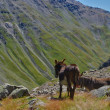 Donkey in mountain — Stock Photo