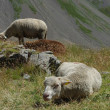 Herds of sheep - Stock Photo