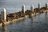 Sea Lions at Rest — Stock Photo