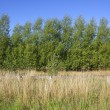 Willows and dry grass — Stock Photo