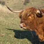 Highland cow portrait — Stock Photo