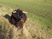 Dark highland cow — Stock Photo