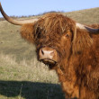 Sad looking highland cow — Stock Photo