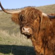 Sad looking highland cow — Stock Photo #7696311
