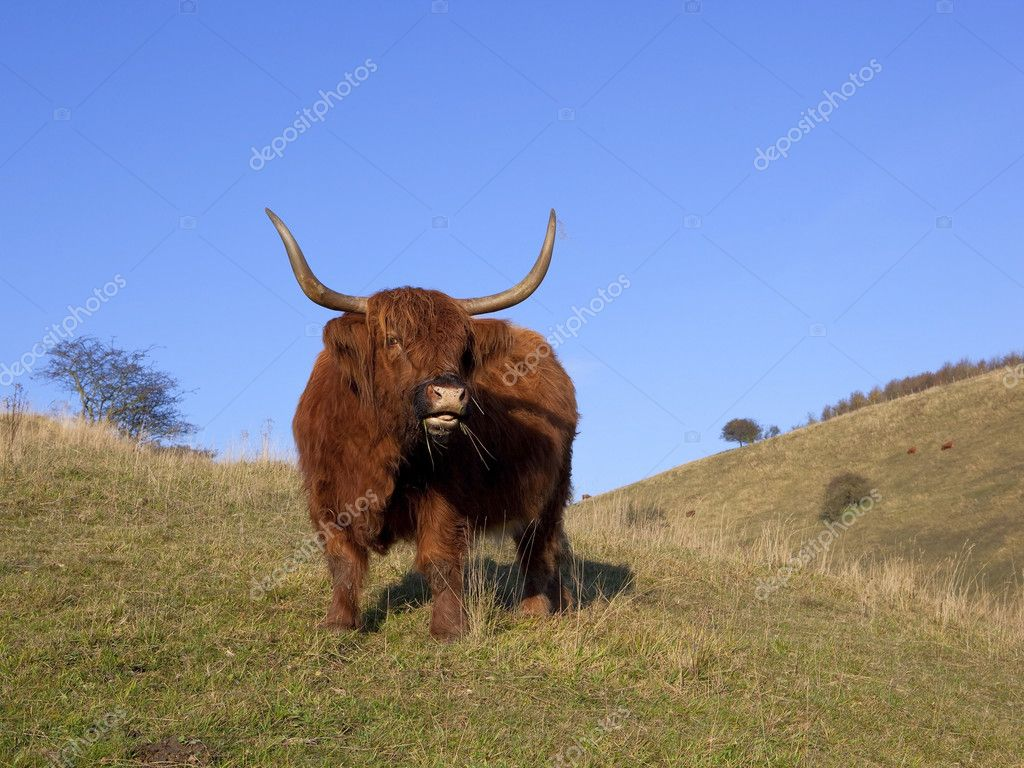 A highland cow eating grass on an autumn hillside under a blue sky — Stock Photo #7696277