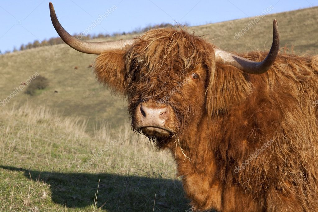 A sad looking highland cow in a grassy meadow under a blue sky  Stock Photo #7696311