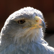 Black-chested Buzzard-eagle — Stock Photo