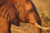 Elephant in tsavo east — Stock Photo