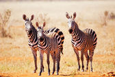 Staring zebras — Stock Photo