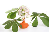 Horse chestnut flower in a vase on a white background — Stock Photo