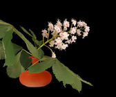 Horse chestnut flower in a vase on a black background — Stock Photo