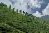 Tea plantation of Kerala, South India — Foto de Stock