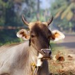 Portrait of the sacred cows of India — Stock Photo