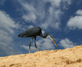 Herons on a sandy beach near the ocean — Stock Photo