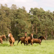 Flock of  horses — Stock Photo