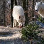 Polar wolf eats . — Stock Photo
