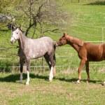 Horses go to pasture. — Stock Photo