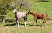 Przejdź koni na pastwiskach. — Zdjęcie stockowe