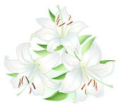 White lilly — Stock Vector