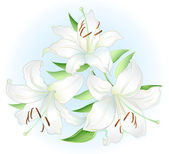 White lilly — Vector de stock