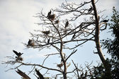 Cormorants roosting — Stock Photo
